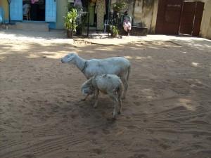 Lamm i Gambia Foto: thegambia.nu