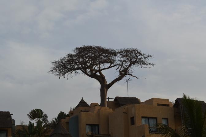 Baobab beskrivs som en superfrukt