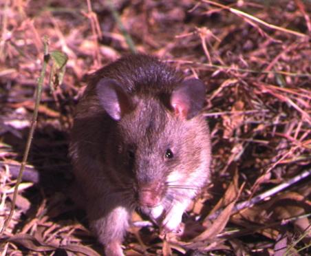 Jätteråttor bistår i kampen mot TBC och landminor