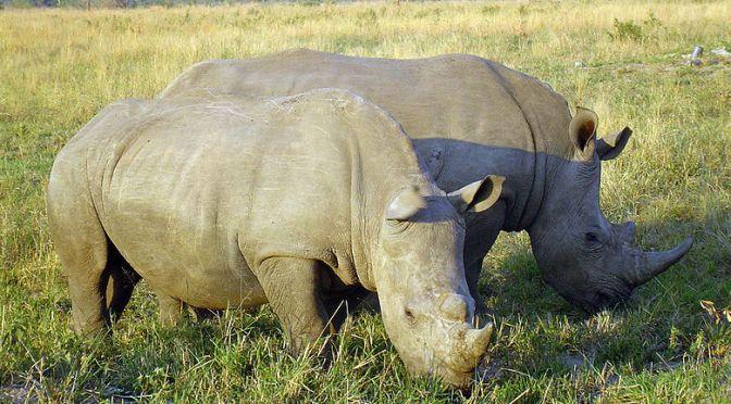 Flytt skall hindra utrotning av noshörningar