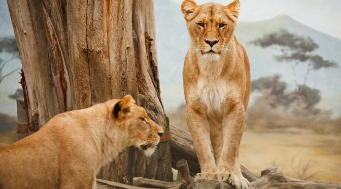 Afrikanska lejons skyddsstatus förväntas förbättras under 2016