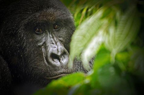 800px-Virunga_National_Park_Gorilla