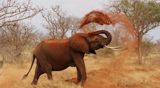 Zambia: Registrering/studie av elefanter visar stabil population